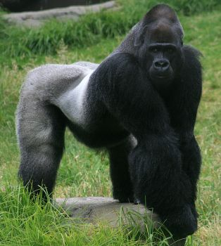 800px-Male_gorilla_in_SF_zoo.jpg